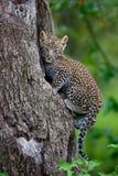 Retrato de un cachorro del leopardo que sube en un árbol en Masai Mara, Kenia Imagen de archivo