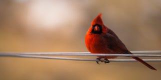 Retrato de un cardenal foto de archivo libre de regalías