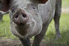 Retrato de un cerdo imagen de archivo libre de regalías