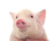 Retrato de un cerdo Fotos de archivo