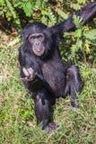 Retrato de un chimpancé común en el salvaje, África Imágenes de archivo libres de regalías