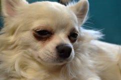 Retrato de un cierre blanco de la raza de la chihuahua del perro para arriba imágenes de archivo libres de regalías