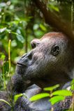 Retrato de un cierre occidental del gorila occidental (gorila del gorila del gorila) para arriba en una distancia corta Silverbac Foto de archivo libre de regalías