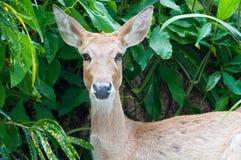 Retrato de un ciervo Fotos de archivo
