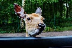 Retrato de un ciervo común Foto de archivo libre de regalías