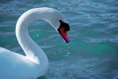Retrato de un cisne Imágenes de archivo libres de regalías