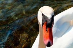 Retrato de un cisne blanco en el ambiente natural horizontal Imagen de archivo