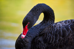 Retrato de un cisne negro con el pico rojo Imagenes de archivo