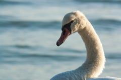 Retrato de un cisne salvaje en una orilla del lago foto de archivo libre de regalías
