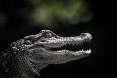 Retrato de un cocodrilo joven Foto de archivo libre de regalías