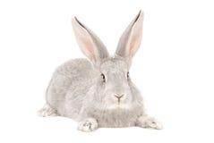 Retrato de un conejo gris Imagenes de archivo