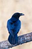 Retrato de un cuervo Fotografía de archivo