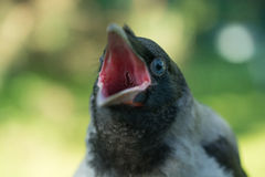 Retrato de un cuervo gris Imagen de archivo