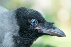 Retrato de un cuervo gris Imagenes de archivo