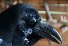 Retrato de un cuervo negro. Imagen de archivo