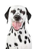 Retrato de un Dalmatian sonriente Imágenes de archivo libres de regalías