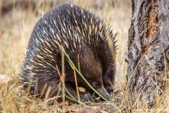 Retrato de un Echidna de pico corto salvaje que forrajea, roca colgante, Victoria, Australia, marzo de 2019 foto de archivo libre de regalías