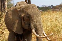 Retrato de un elefante Imágenes de archivo libres de regalías