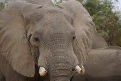 Retrato de un elefante Foto de archivo libre de regalías