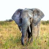 Retrato de un elefante africano grande foto de archivo