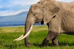 Retrato de un elefante grande Imagen de archivo