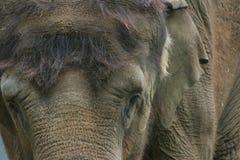 Retrato de un elefante indio Foto de archivo