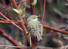 Retrato de un especie de ave Blanco-observado, Ontario imágenes de archivo libres de regalías