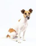 Retrato de un fondo cabelludo del fox terrier, blanco liso Foto de archivo