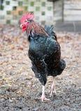 Retrato de un gallo Fotografía de archivo