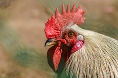 Retrato de un gallo blanco con una cresta roja brillante para el símbolo del Año Nuevo en el calendario lunar Fotografía de archivo libre de regalías