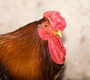 Retrato de un gallo en una granja Fotos de archivo