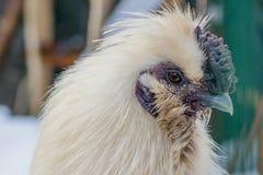 Retrato de un gallo hermoso con un pico del jade Cierre para arriba imagenes de archivo