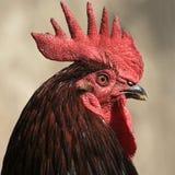 Retrato de un gallo orgulloso fotografía de archivo libre de regalías