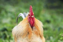 Retrato de un gallo rojo brillante con el peine rojo en hierba Foto de archivo