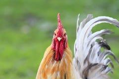 Retrato de un gallo rojo brillante con el peine rojo en hierba Imagenes de archivo