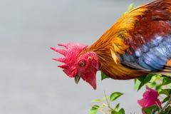 Retrato de un gallo tailandés Imagen de archivo