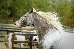 Retrato de un galope coloreado curioso hermoso del caballo imagen de archivo libre de regalías
