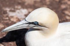 Retrato de un gannet septentrional adulto, bassanus del primer del morus durante la estación de la jerarquización foto de archivo