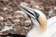Retrato de un gannet septentrional adulto, bassanus del primer del morus durante la estación de la jerarquización imagenes de archivo
