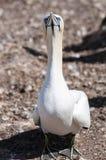 Retrato de un gannet septentrional adulto, bassanus del primer del morus durante la estación de la jerarquización fotos de archivo