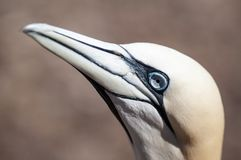 Retrato de un gannet septentrional adulto, bassanus del primer del morus durante la estación de la jerarquización imagen de archivo