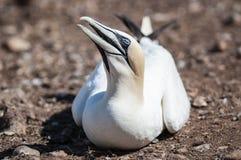 Retrato de un gannet septentrional adulto, bassanus del primer del morus durante la estación de la jerarquización fotografía de archivo