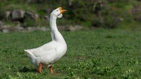 Retrato de un ganso blanco Primer Foto de archivo