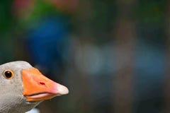 Retrato de un ganso de ganso silvestre imágenes de archivo libres de regalías