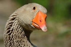 Retrato de un ganso de ganso silvestre foto de archivo libre de regalías