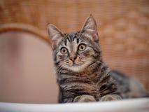 Retrato de un gatito de un color rayado en una silla de mimbre Imagen de archivo