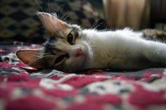 Retrato de un gatito tres-coloreado encantador fotos de archivo libres de regalías