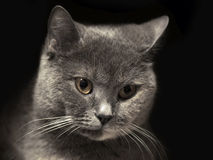 Retrato de un gato foto de archivo libre de regalías