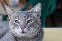 Retrato de un gato ahumado joven hermoso Fotografía de archivo libre de regalías