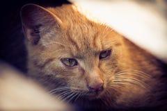 Retrato de un gato anaranjado que mira en algo interesante foto de archivo libre de regalías